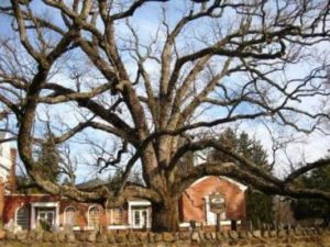 America's Oldest White Oak is dying
