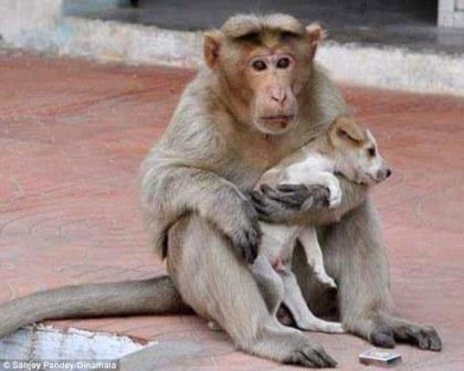 Monkeys terrorize Agra, citizens deploy Langur deterrent!
