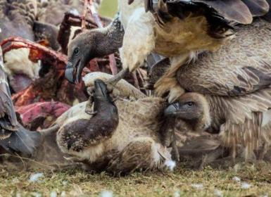 32 rare vultures poisoned in Assam